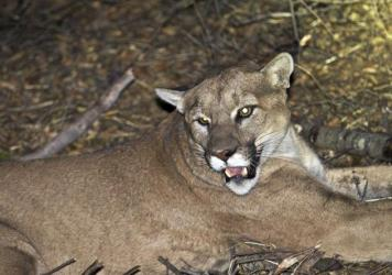 "A mountain lion, although not this one, has been confirmed as the ""shadow of an animal"" that made off with a Pescadero, Calif., homeowner's dog."