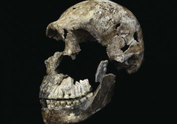 This is a skull of <em>Homo naledi</em> from the Rising Star cave system in South Africa.