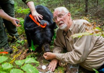 Rogers hand feeds June, a 300-plus-pound pregnant black bear.