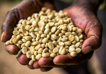 Coffee is thought to have originated in Ethiopia. <em>Coffea arabica</em>, or coffee Arabica, the species that produces most of the world's coffee is indigenous to the country.