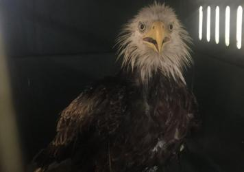 On Saturday, an injured bald was found eagle in southeast Washington, D.C.