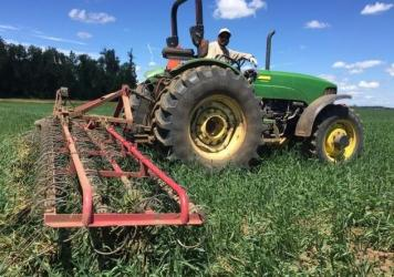 A farm worker runs a tine weeder on Jason Hunton's organic wheat crop. It's like a giant comb, scraping up weeds and bits of wheat along with it.