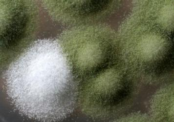 An image of <em>Penicillium</em> colonies. The white colony is a mutant similar to the mold found in Camembert cheese. The green ones are the wild form.