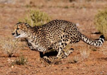 An African cheetah (acinonyx jubatus lanea) at Inverdoorn Game Reservein South Africa.