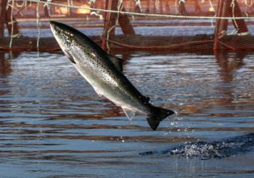 Washington has eight Atlantic salmon net pens. There are two types: commercial net pens for raising Atlantic salmon and enhancement net pens for wild salmon that will eventually be released.