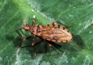 "The blood-sucking conenose assassin bug (<em>Triatoma sanguisuga</em>) is also called a ""kissing bug"" because of its tendency to bite human faces. It feeds on human blood and is the vector of the parasite <em>Trypanosoma cruzi</em>, which causes Chagas disease."