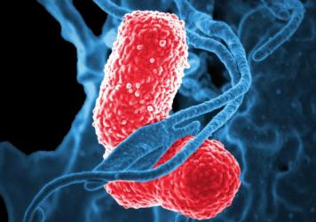 A newly detected type of <em>Klebsiella pneumoniae</em> bacteria (in red) has acquired genes that make it more deadly.