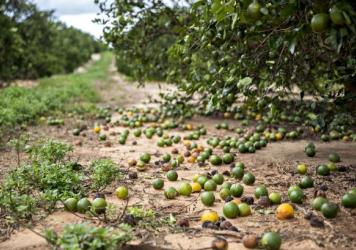 Fallen fruit sits on the ground below orange trees in Frostproof, Fla., U.S. Hurricane Irma destroyed almost half of the state's citrus crop.
