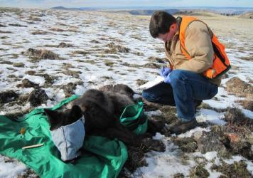 Wolf OR-33 as it was being collared. The wolf was shot dead earlier this year.