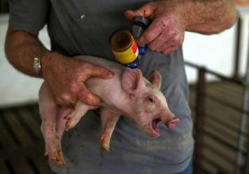 A piglet gets a shot of antibiotic at a farm in Illinois. The World Health Organization is calling for strict limits on antibiotic use in animals raised for food. The guidelines could push many countries, including the U.S., to restrict drug use on farms.
