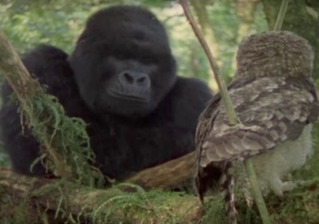 Screen shot from a YouTube video clip from the film <em>Mountain Gorilla: A Shattered Kingdom</em>.