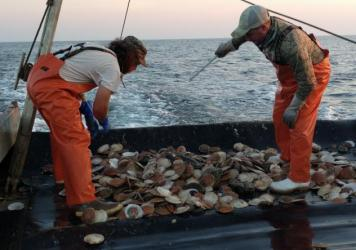 Scallop fishermen discard their bycatch near Montauk, N.Y. These waters are some of the most productive fishing grounds on the Eastern Seaboard.