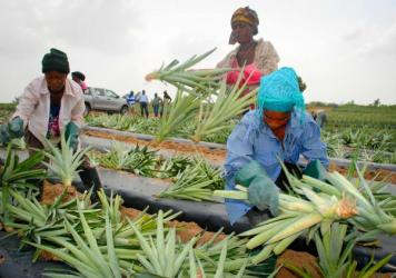 Workers prepare pineapple seedlings for planting at the Gold Coast Fruits farm in Ghana.