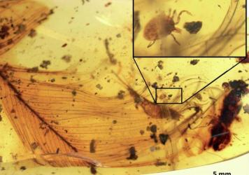<em>Deinocroton draculi</em> ticks, preserved in amber, are named for the blood-sucking vampire Dracula and are a newly discovered ancient species.