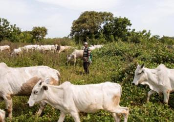 """After the ban on grazing, cows in the cattle market in Makurdi, Nigeria, were trapped with no food or water. """"If [the cows] start dying, then we have no means of feeding our families,"""" says Aliyu Mustapha, the market's director."""