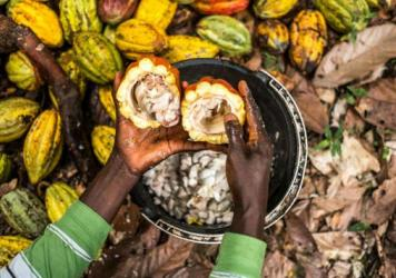 A cocoa farmer opens cacao pods with a stick to collect cocoa beans at his farm in Beni in the Democratic Republic of Congo.