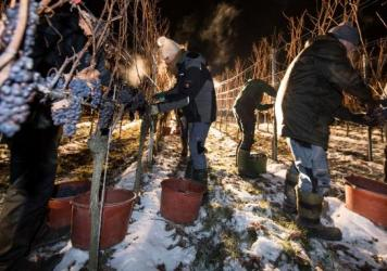 Robert Heyman, a Coyote Moon, employee, returns to the vines to fill his bucket with frozen grapes. The vineyard grows two cold climate varietals for ice wine: frontenac (red) and frontenac gris (white).