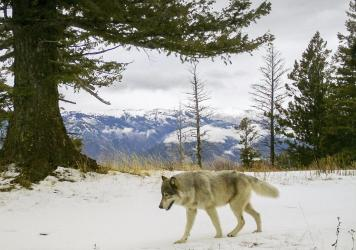 A wolf from the Snake River Pack passes by a remote camera in eastern Wallowa County, Ore. A wolf advocate group in Colorado is challenging the model for U.S. wildlife management.