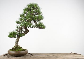 This Japanese black pine was stolen on Sunday from a museum in Washington state. It was grown from a seed in a tin can by Japanese American Juzaburo Furuzawa while he was incarcerated in an internment camp during World War II.