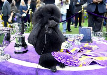 Siba accepts her trophy as the Westminster Kennel Club's Best in Show on Tuesday night.