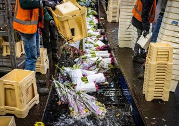 Flowers are being destroyed at the flower auction in Aalsmeer, Netherlands, on March 16, 2020. The Dutch horticultural sector is sounding the alarm about the effects of the coronavirus crisis. Due to the loss of demand, the auctions are struggling with l