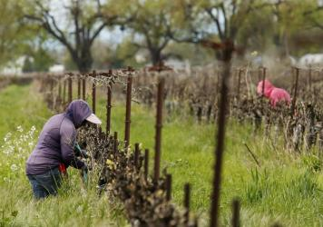 Farmworkers work at a winery in Clarksburg, Calif., on March 24. Farms continue to operate as essential businesses even as the coronavirus has hurt the agriculture industry. (AP Photo/Rich Pedroncelli)