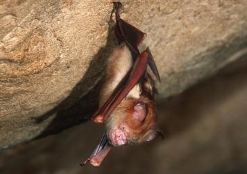 This Bornean horseshoe bat and other bat species can harbor coronaviruses. The nonprofit group EcoHealth Alliance had U.S. government funding for an ongoing research project in China on bats and coronaviruses — until the money was cut on April 25.