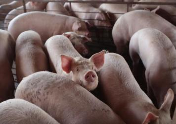 With meatpacking plants reducing processing capacity nationwide, U.S. hog farmers are bracing or an unprecedented crisis: the need to euthanize millions of pigs.