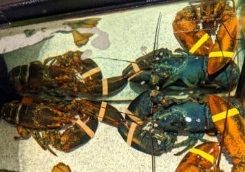A rare blue American lobster in the tank of a Red Lobster restaurant in Cuyahoga Falls, Ohio, last week.