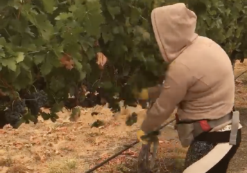 Maricela, shown here picking grapes in southern Oregon this week, says she can't think about the long-term health effects of the smoke from wildfires. She asked NPR to use only her first name because she doesn't have work papers.