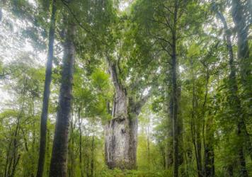 A giant Kauri tree growing in Waipoua Forest, Northland, New Zealand. Trees like this one that fell long ago and were preserved for thousands of years are helping researchers discern fluctuations in the Earth's magnetic poles.