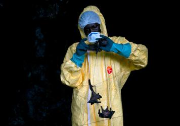 A researcher with Franceville International Medical Research Centre collects bats in a net on November 25, 2020 inside a cave in Gabon. Scientists are looking for potential sources for a possible next coronavirus pandemic.
