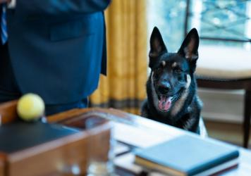 Major Biden, pictured in the Oval Office on March 4, reportedly received remedial training while staying at the family's Delaware residence in mid-March. He and fellow German shepherd Champ Biden were confirmed back at the White House on Wednesday.