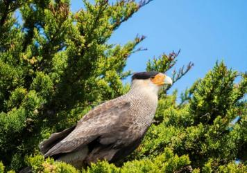 Crested caracara (Martin Zwick/REDA&CO/Universal Images Group via Getty Images)
