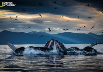 Humpback whales, working in teams, circle herring with disorienting curtains of bubbles off Alaska's coast, then shoot up from below with their mouths open. This innovation developed among unrelated groups of humpbacks but is now a widely adopted practic
