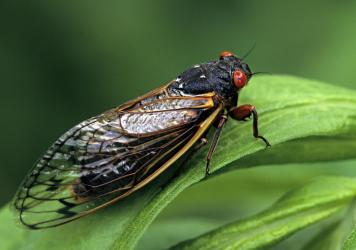 Periodical Cicadas spend 17 years underground feeding on tree sap. Now, billions of cicada nymphs are once again preparing to emerge from the earth and take to the treetops of 15 states across the East Coast and Midwest.