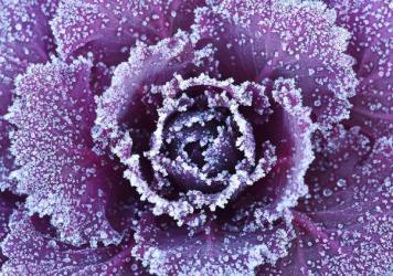 Frosty cabbage