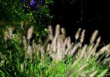 Black Fountain Grass - Pennisetum 'Moudry'